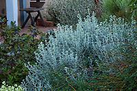 Parthenium incanum, Mariola or New Mexico rubber plant, gray foliage perennial in New Mexico backyard xeric garden, design by Judith Phillips