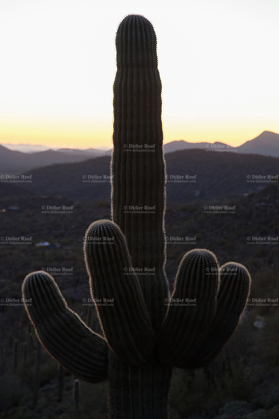 """USA. Arizona state. Cave Creek. Saguaro cactus at sunset. The cactus looks like a hand making an obscene hand gesture (Fuck you). The saguaro (Carnegiea gigantea) is an arborescent (tree-like) cactus species in the monotypic genus Carnegiea, which can grow to be over 70 feet (21 m) tall. The saguaro blossom is the state wildflower of Arizona. In Western culture, the finger or the middle finger is an obscene hand gesture. It communicates moderate to extreme contempt, and is roughly equivalent in meaning to """"fuck off"""", """"fuck you"""", """"shove it up your ass"""", """"up yours"""" or """"go fuck yourself"""". It is performed by showing the back of a hand that has only the middle finger extended upwards, though in some locales the thumb is extended. The gesture is usually used to express contempt but can also be used humorously or playfully. 28.01.16 © 2016 Didier Ruef"""