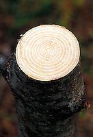 Felled tree cut showing tree rings<br />