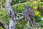 great grey owl or great gray owl (Strix nebulosa), Washington