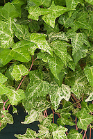 Hedera helix 'Fantasia' as a climbing ivy vine