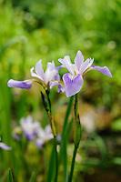 Iris versicolor 'Rowden Lullaby'