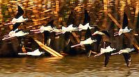 Flock of black-necked stilts