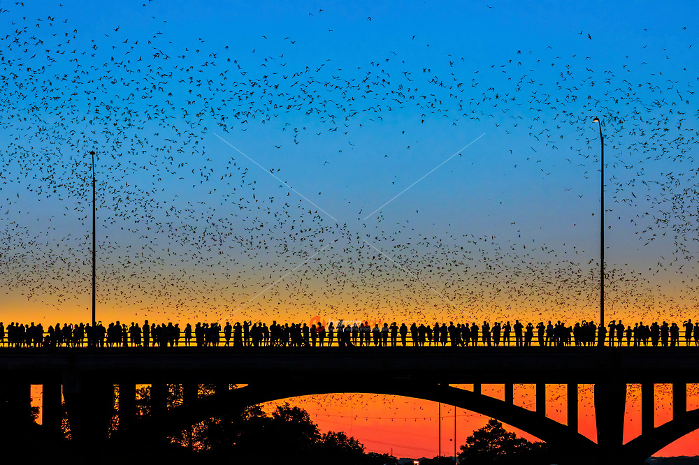 Ann Richards Congress Avenue Bridge is home to the world's largest urban bat colony which is composed of Mexican free tailed bats. the bats reside beneath he road deck in gaps between concrete component structures. they spend their summers here in Austin.