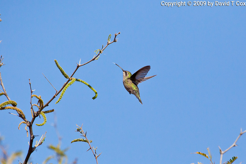 Broadbilled Hummingbird female, San Miguel, Guanajuato, Mexico
