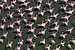 Aerial, Lake Natron, Tanzania , lesser flamingos (Phoeniconaias minor) and greater flamingos (Phoenicopterus roseus)