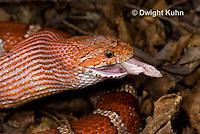 1R22-650z  Corn Snake, Banded Corn Snake, Elaphe guttata guttata or Pantherophis guttata guttata, catching and eating mouse