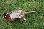Game bird shoot St Claire's Estate, Hampshire. England