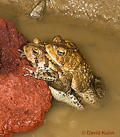 0304-0908  Pair of Toads in Amplexus (Pseudocopulation), Pair of American Toads (Male Tightly Grasping Female) Mating in Temporary Ephemeral Pool of Water,  © David Kuhn/Dwight Kuhn Photography, Anaxyrus americanus, formerly Bufo americanus