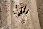 Animal Footprint On Orond Beach