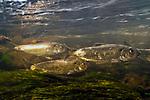 Alewife herring