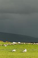 Sheep grazing in pasture under stormy skies, Ireland