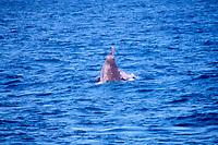Baird's beaked whale, Berardius bairdii, Baja California, Mexico, Pacific Ocean