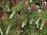 Europäische Lärche, frische Triebe im Frühjahr und Zapfen, Larix decidua, Larix europaea, European Larch