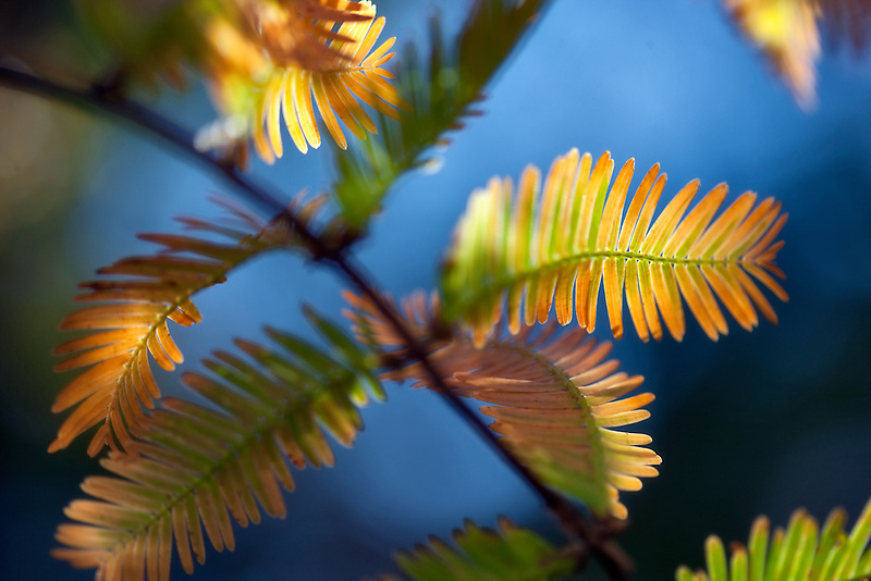 Close up of Dawn Redwood (Metasequoia glyptostoboides) in fall color. Prairie Creed Redwoods State Park. California