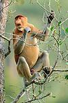 Adult male proboscis monkey (Nasalis larvatus) feeding in mangroves. Bako National Park, Sarawak, Borneo.