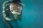 American alligator, Casper, with handler Chris Gillette(Alligator mississippiensis), Everglades Outpost. Nuissance alligators in protective pens, Homestead FL