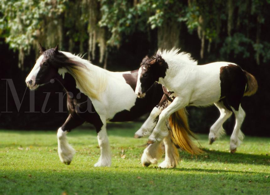 #287   Gypsy Vanner Horse foal jumps for joy frolicking with mare..© Mark J. Barrett 200.#287   Gypsy Vanner Horse foal jumps for joy frolicking with mare..¬© Mark J. Barrett 200