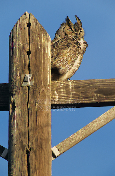 Great Horned Owl, Bubo virginianus , adult roosting on telephone post, Starr County, Rio Grande Valley, Texas, USA