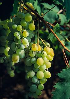 Griechenland, Kreta, Weintrauben | Greece, Crete, grapes