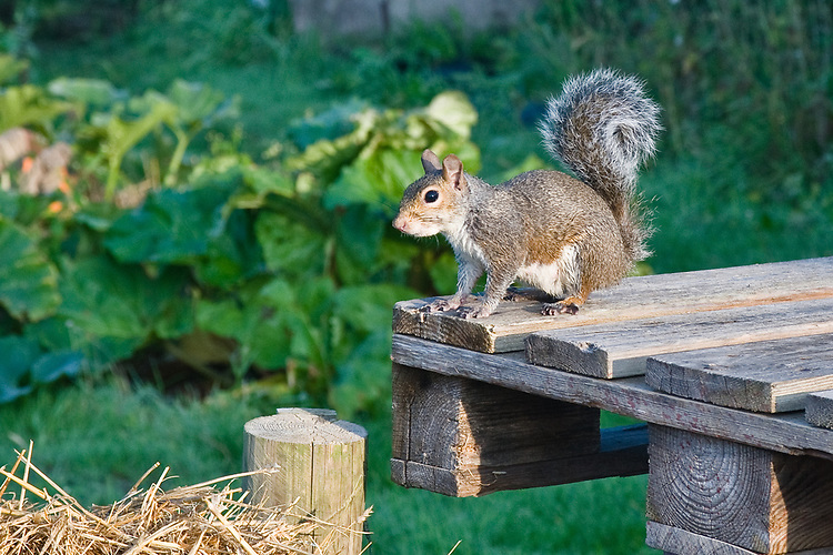 Grey squirrel, mid September.