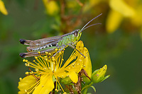 Gemeiner Grashüpfer, Grashüpfer, Männchen, Pseudochorthippus parallelus, Chorthippus parallelus, Chorthippus longicornis, common meadow grasshopper, meadow grasshopper, male, le criquet des pâtures