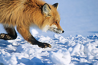 Red fox trots over the snow covered tundra of Alaska's arctic north slope.