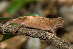 Stump-tailed or Leaf Chameleon (Brookesia brygooi) on the forest floor. Anja Reserve, southern Madagascar.