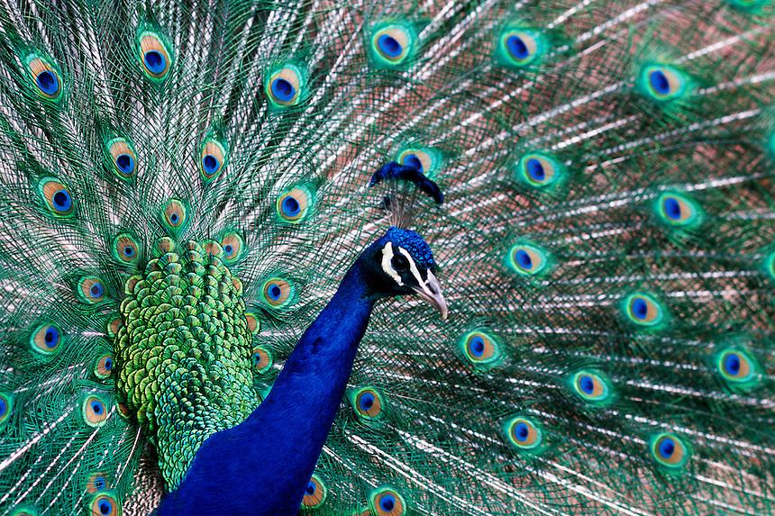 Peacock and Denver, Colorado, zoo.