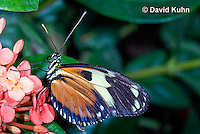0419-1102  Heliconius Butterfly, Heliconius spp.  © David Kuhn/Dwight Kuhn Photography