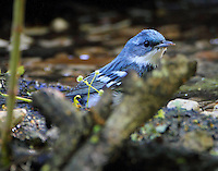 Male cerulean warbler bathing