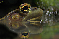 GREEN FROG. Male eardrum is larger than eye..Nova Scotia. Canada..Rana clamitans melanota.