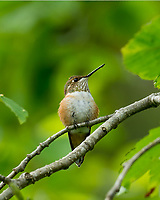Immature Rufous Hummingbird (Selasphorus rufus) sitting in red alder tree, Pacific Northwest.  Summer.