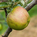 Apple 'Encore', late September. A large English culinary apple raised by Charles Ross, head gardener at Welford Park, Newbury, Berkshire. First recorded in 1906.