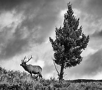 A bull elk pauses while grazing at sunrise.