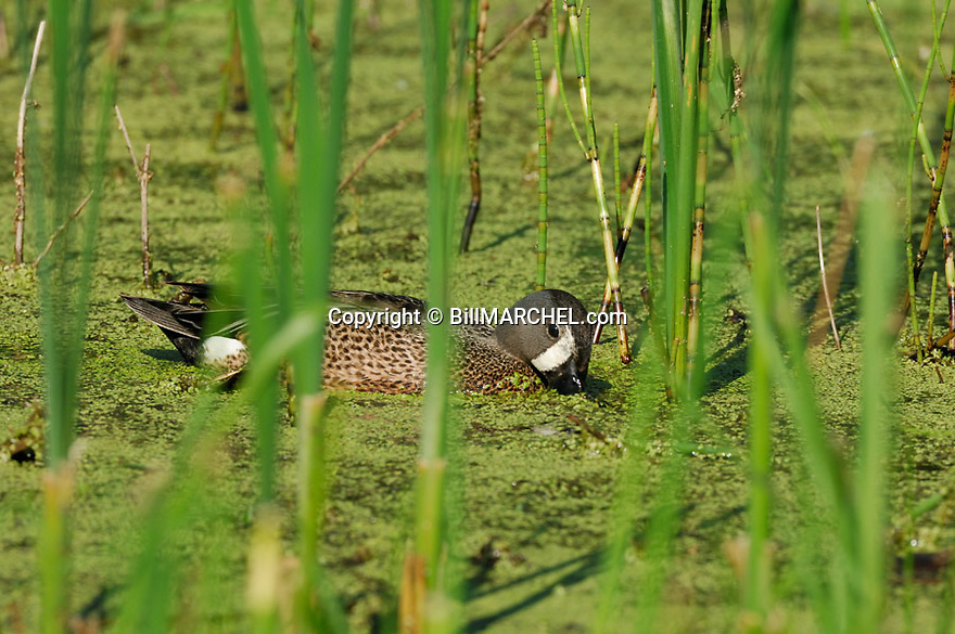 00315-059.08 Blue-winged Teal Duck (DIGITAL) male is feeding on a marsh containing duck weed.  Hunt, waterfowl, wetlands.  H4R1
