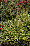 CLAMAGROSTIS ACUTIFLORA 'ELDORADO', VARIEGATED FEATHER REED GRASS