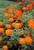 Zinnia elegans 'Bonanza', Cactus zinnia in colorful orange, spiky blooms