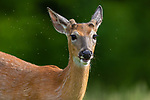 Yearly white-tailed buck surrounded by bugs.