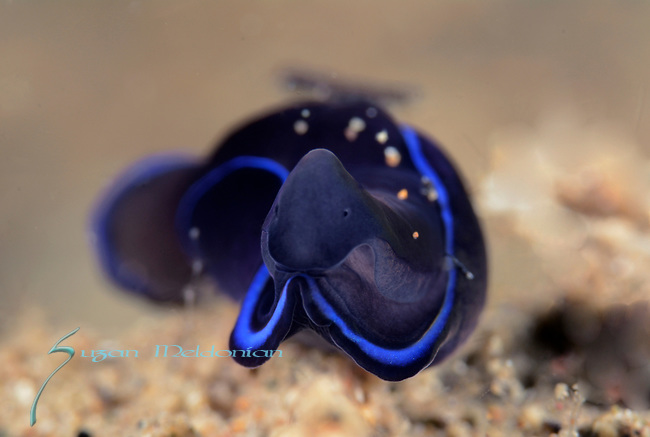 Gardiner's Headshield slug, Blue Flatworm ,Philinopsis gardineri,  Anilao,  2015 pg 277