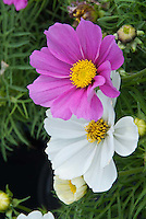 Two colors of annual flower Cosmos Sonata showing closeup of white and pink blooms