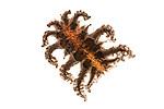 Monkey slug caterpillar (Phobetron pithecium) (Limacodidae). Manu Biosphere Reserve, Amazonia, Peru.
