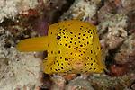 Cubicus yellow boxfish (Ostracion cubicus). Misool, Raja Ampat, West Papua, Indonesia,  January 2010