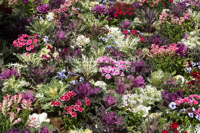 DISPLAY OF FLOWERING KALE, DIANTHUS, PANSY IN PACK TRIALS.