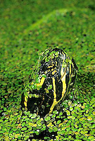 1R13-028z  Painted Turtle - swimming, coming to surface to breathe at pond with duckweed - Chrysemys picta