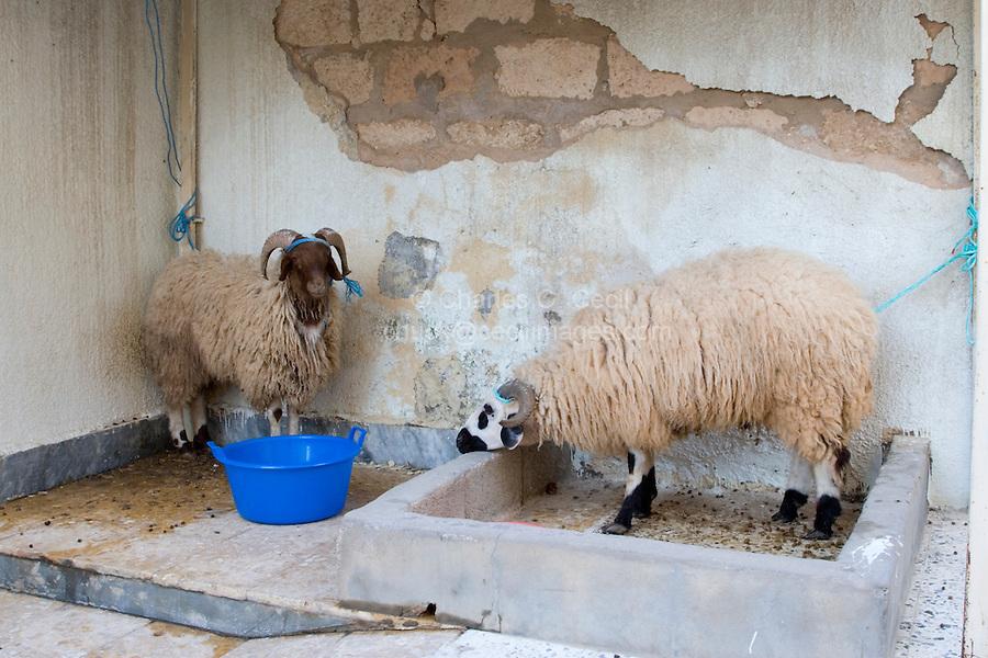 Tripoli, Libya - Eid al-Adha, Id al-Adha.  Sheep Await Their Sacrifice for the annual feast when Muslims commemorate God's mercy in allowing Abraham to sacrifice a ram instead of his son, to prove his faith.