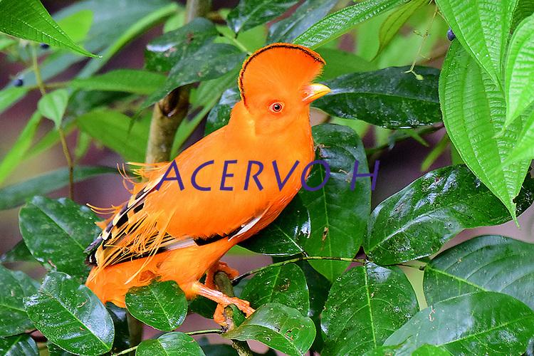 Galo da serra<br /> Aves da Amazônia.<br /> Roraima, Brasil.<br /> Foto Jorge Macedo