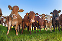 Herd of cows, Northumberland, UK.