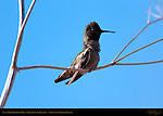 Anna's Hummingbird Male, Regaining his Balance, Sepulveda Wildlife Refuge, Southern California
