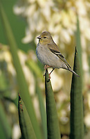 American Goldfinch, Carduelis tristis, adult winter plumage on blooming Trecul Yucca (Yucca treculeana) , Lake Corpus Christi, Texas, USA, March 2003